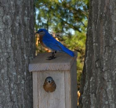 bluebird_box