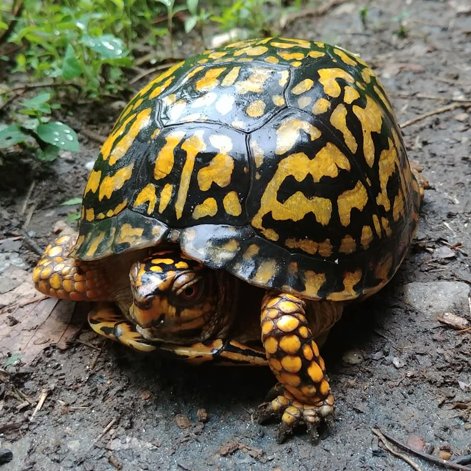 The preserve hosts a healthy population of box turtles